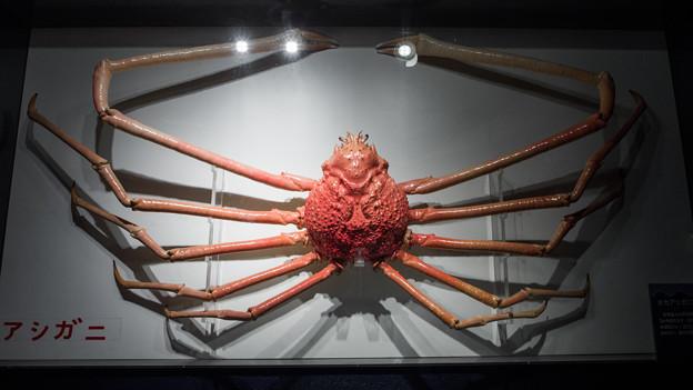 タカアシガニの標本