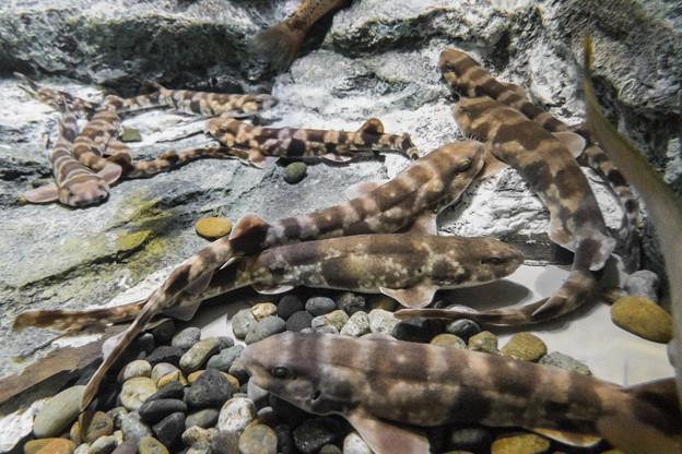 トラザメの群れ