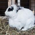 Photos: カイウサギ
