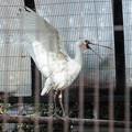 Photos: 羽ばたくクロツラヘラサギ