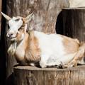 トカラヤギのメープル