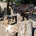 Photos: ヤギのチョコとメープル