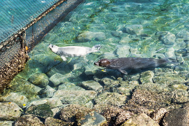 母子で泳ぐゴマフアザラシ