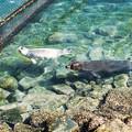 Photos: 母子で泳ぐゴマフアザラシ