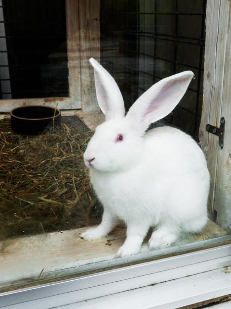 カイウサギ(ジャパニーズ・ホワイト)