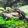ツチガエルとトウキョウダルマガエル
