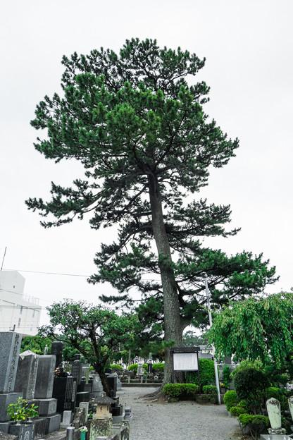松蔭寺の松