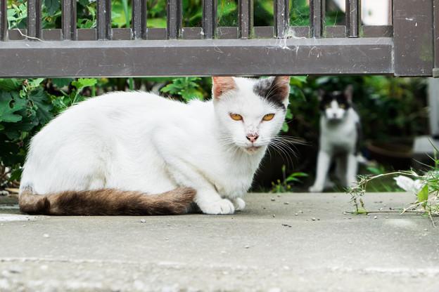 白隠の里にすむ猫
