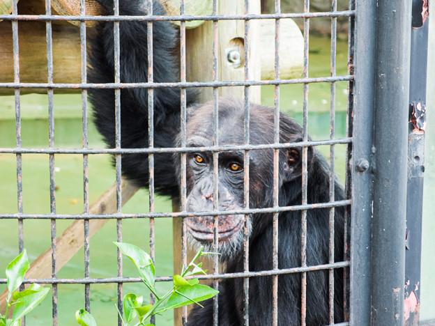 チンパンジーのコブヘイ