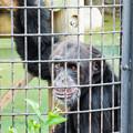 Photos: チンパンジーのコブヘイ