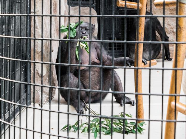 チンパンジーのミラクル