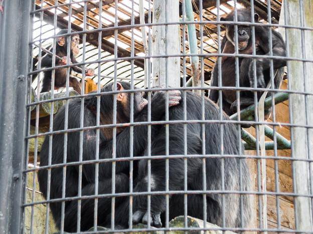 チンパンジー一家
