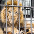 Photos: インドライオンのラージャー