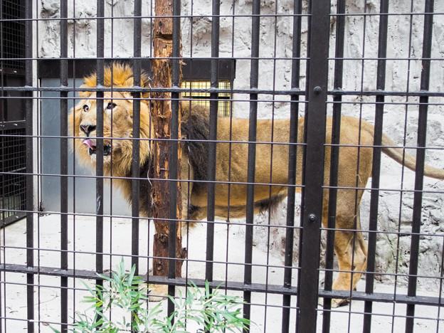 インドライオンのラージャー