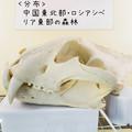 Photos: アムールトラの頭蓋骨