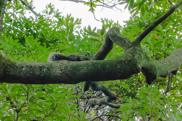 野毛山公園に生息するタイワンリス