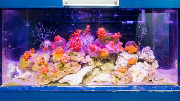 キサンゴの水槽