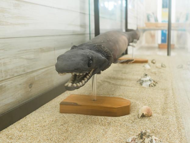 ラブカの剥製標本