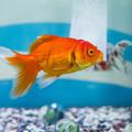 Photos: 金魚展 オランダ獅子頭