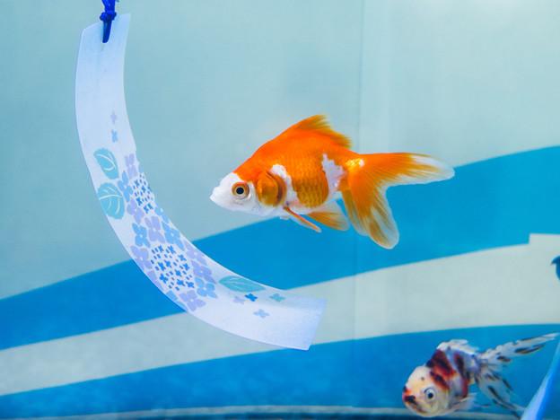 Photos: 金魚展 琉金