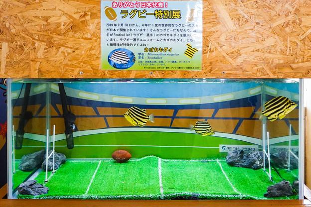 ラグビー特別展 カゴカキダイ
