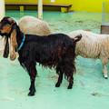 Photos: ミミナガヤギのシナモン