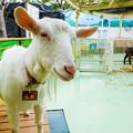 Photos: 白ヤギのしお