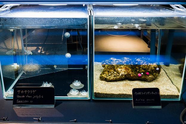 サカサクラゲとウメボシイソギンチャク