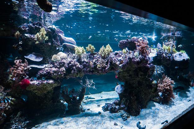 サンゴの群生水槽