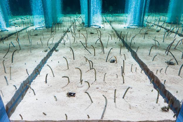 チンアナゴたちの水槽