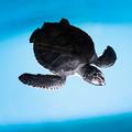 アオウミガメの赤ちゃん