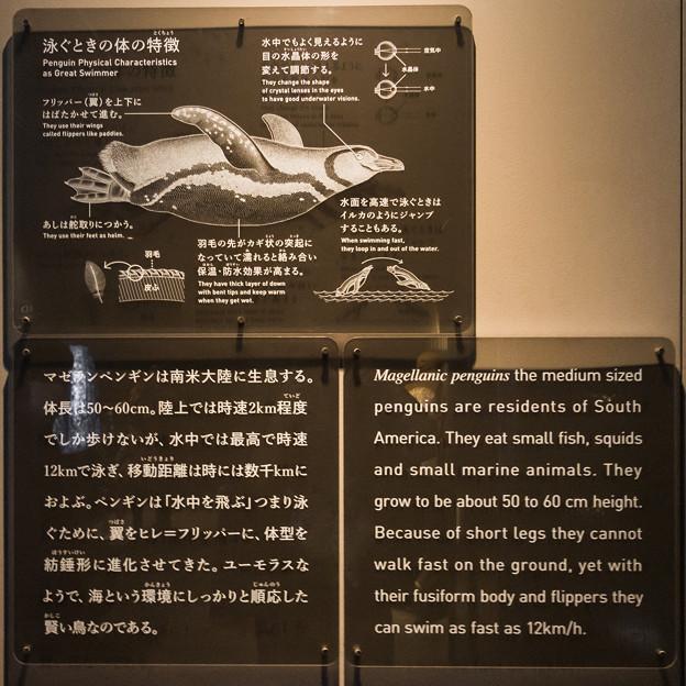 Photos: ペンギン 泳ぐときの体の特徴