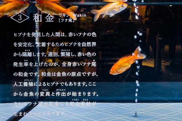 和金(フナ尾)