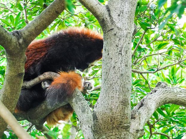 木の上で眠るレッサーパンダ
