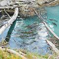 井川湖の鯉