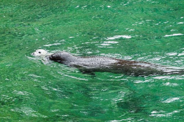泳ぐゴマフアザラシの親子