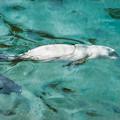 泳ぐゴマフアザラシの赤ちゃん