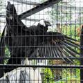 翼を広げたコンドルのヘンリエッタ