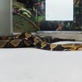 Photos: アミメニシキヘビ