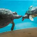 Photos: バタグールガメ