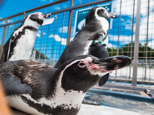 ペンパラのペンギン