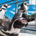 Photos: ペンパラのペンギン