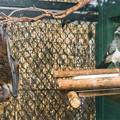 オリイオオコウモリとシロハラハイイロエボシドリ