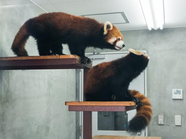 Photos: レッサーパンダの親子
