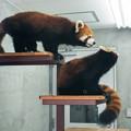 レッサーパンダの親子