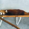 Photos: レッサーパンダのホーマー