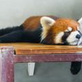 Photos: レッサーパンダのれいか