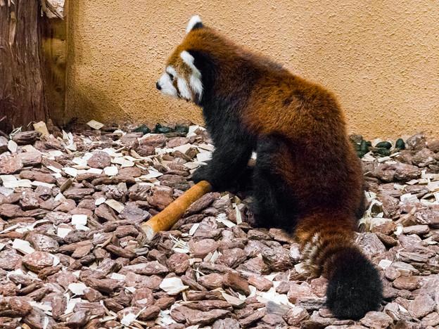 レッサーパンダのまるお