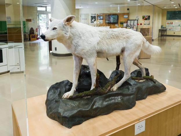 Photos: シンリンオオカミの剥製