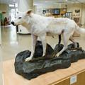 シンリンオオカミの剥製